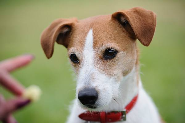 Parson Russell Terrier looking