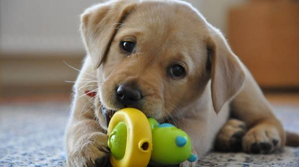 Care for a Labrador Retriever