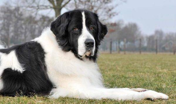 newfoundland white-black