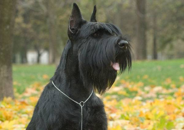 a giant schnauzer in the park