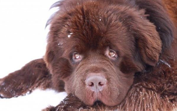 Newfoundland brown