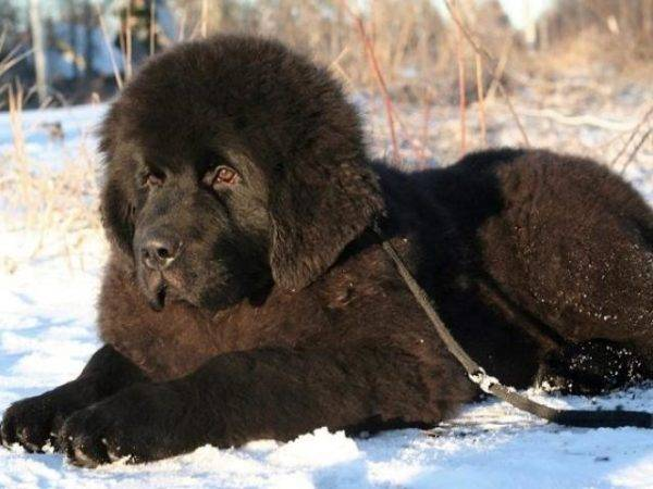 Newfoundland in the snow