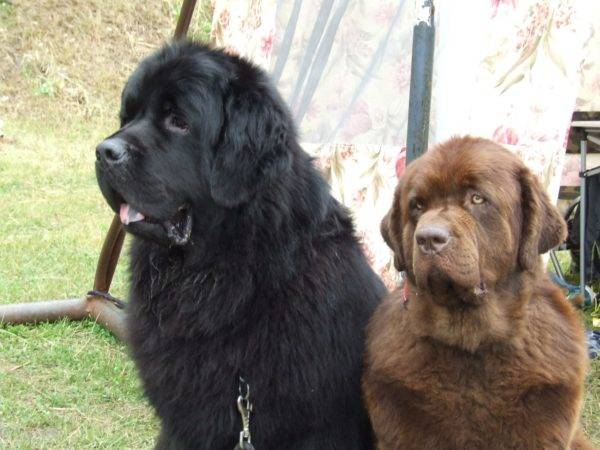 two Newfoundlands