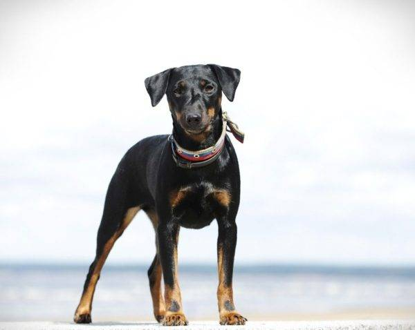 Description of breed German Jagdteriere