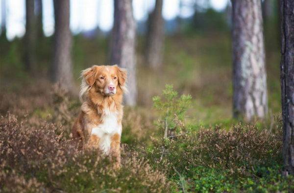 New Scotch retriever in the forest