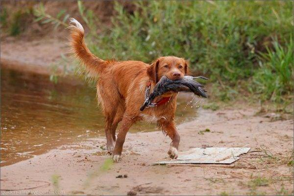 New Zealand retriever with prey