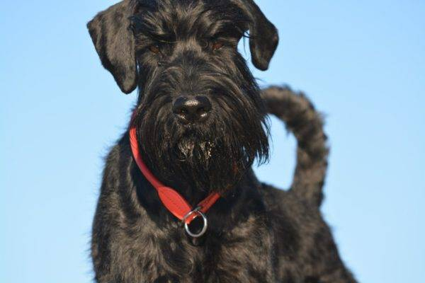 a giant schnauzer with a red collar