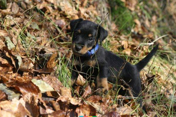 German Jagd Terrier Puppy