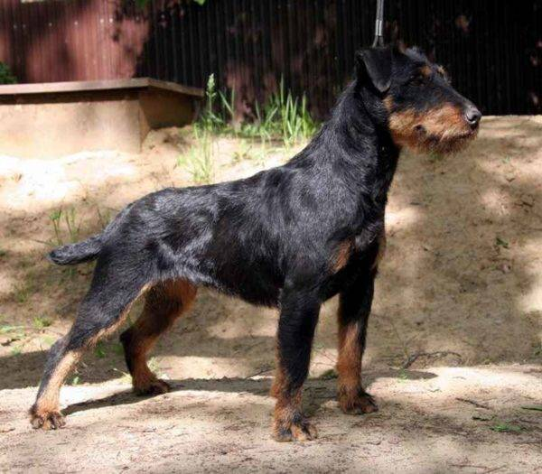 German Toy Terrier