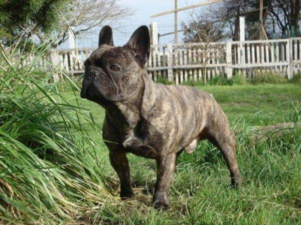 french bulldog in nature