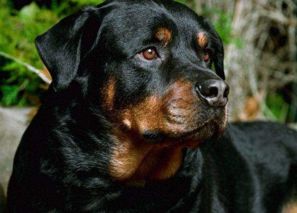 Rottweiler on a beautiful background