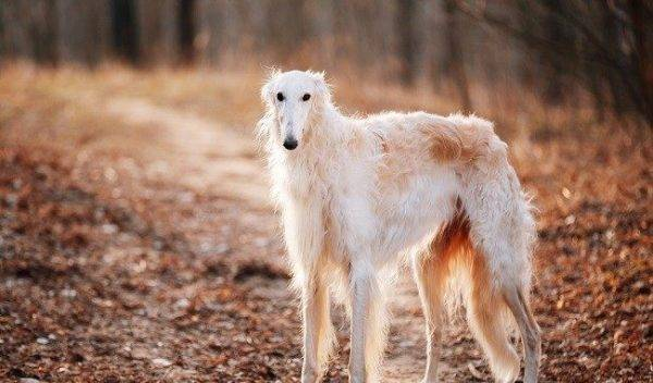 a Russian greyhound in the woods