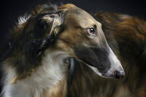 Russian hound greyhound is beautiful