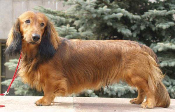 Long-haired dachshund standard