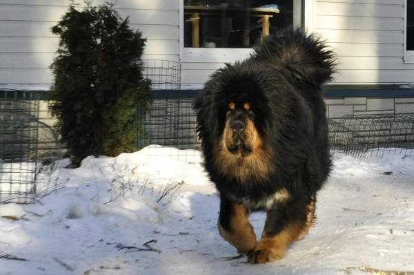 Tibetan Mastiff in the country