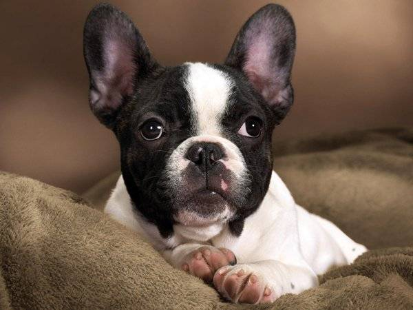 french bulldog pictures
