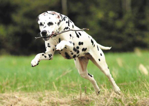 Dalmatian runs with a cane in his teeth