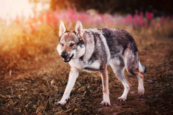 Czechoslovak wolf dog on a beautiful background