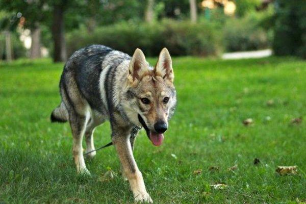 Czechoslovak wolf dog in the park