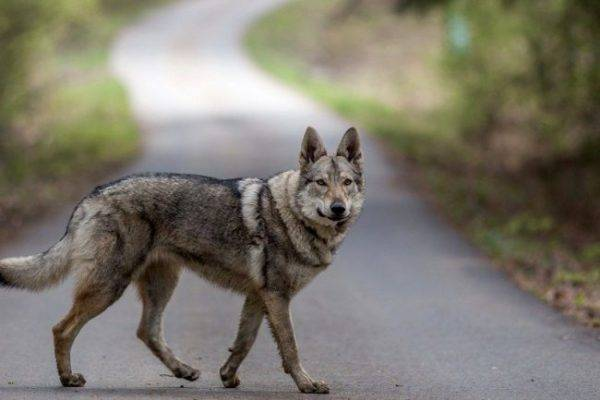 Czechoslovak wolf dog on the road