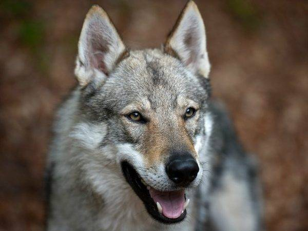 Czechoslovak wolf dog