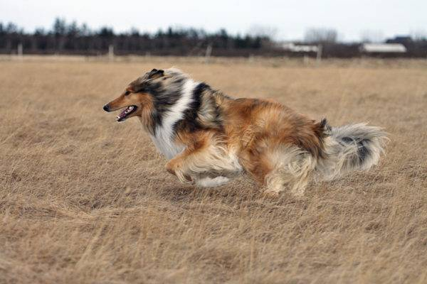 The long-haired collie