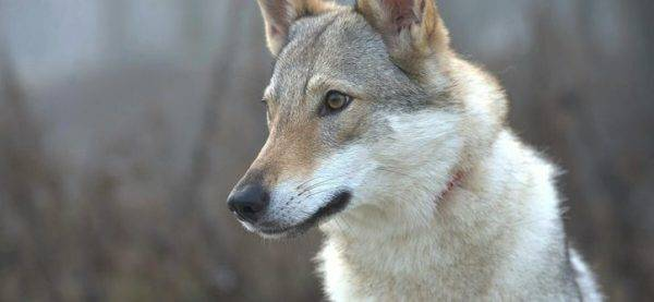 An amazing Czechoslovak wolf dog