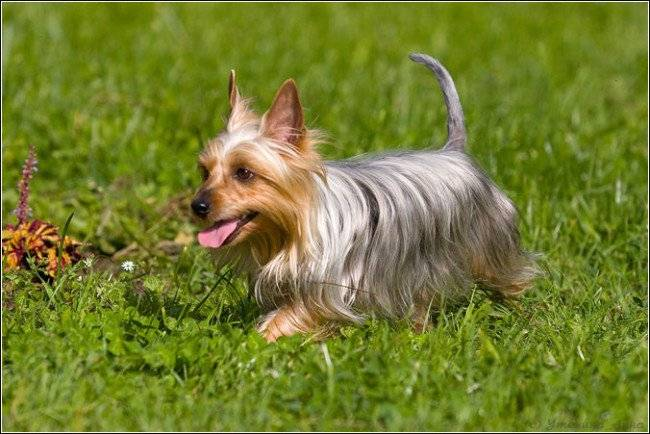 Australian Terrier is played
