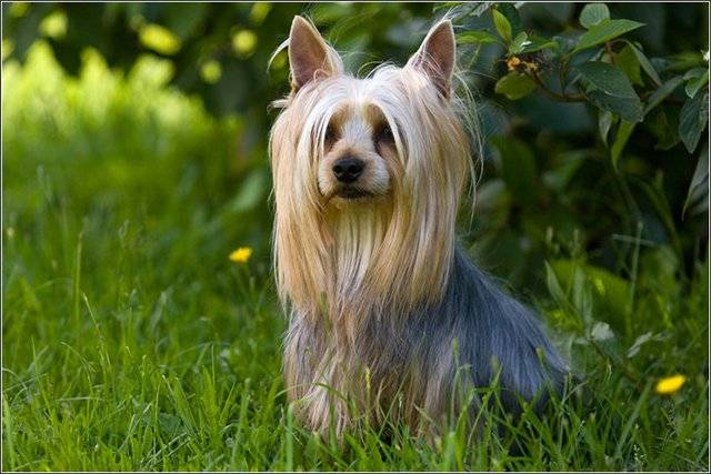 Silky terrier in the grass