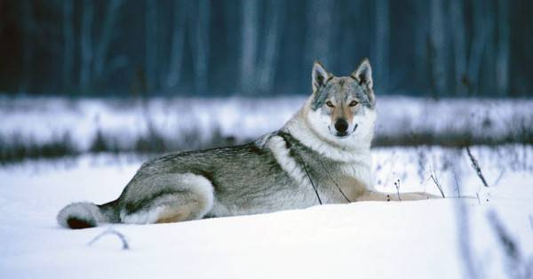 Czechoslovak wolf dog in the winter