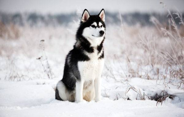 Husky on a beautiful background
