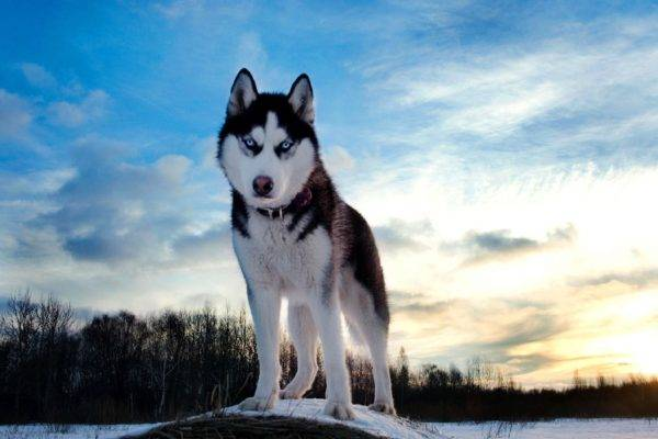 husky on the hill