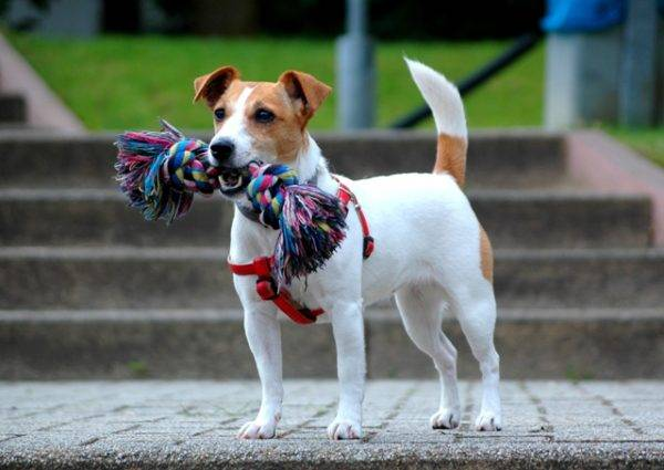 jack russell terrier for a walk