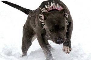 pit bull in the winter