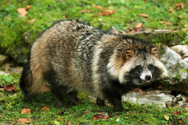 raccoon dog in the forest