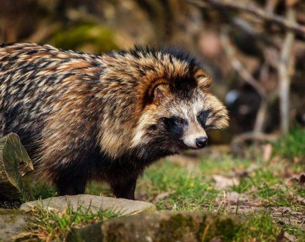 raccoon dog on a beautiful background