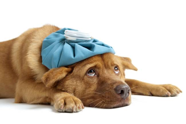 Colds in dogs