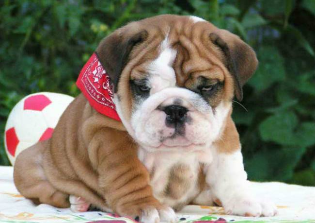 How to care for the English Bulldog