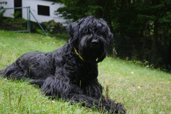 Russian black terrier (Stalin's dog)
