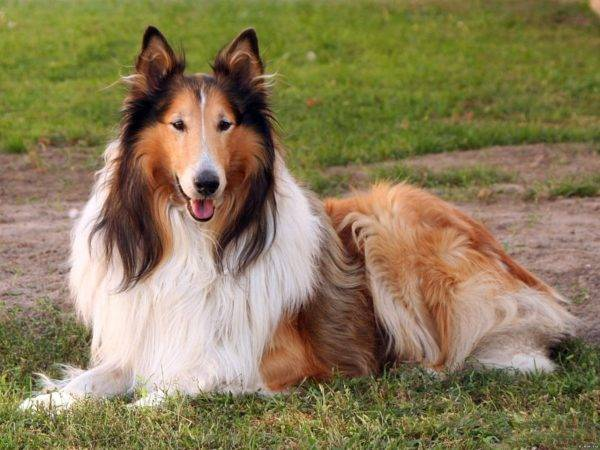 Collie (Scottish Sheepdog)