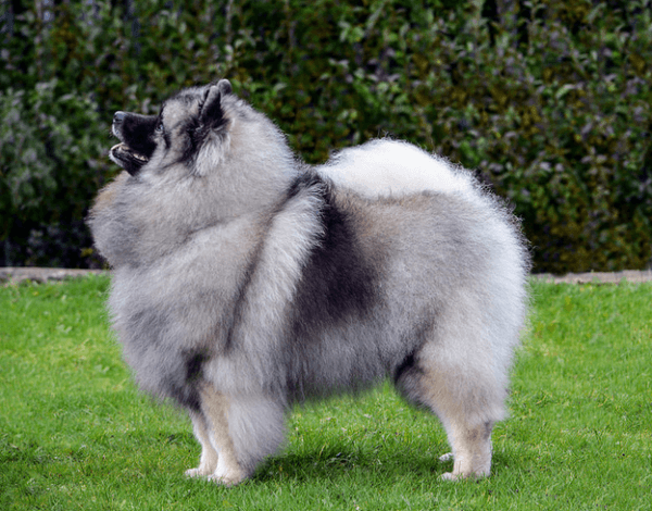 Dutch Spitz (keeshond or wolfspitz)