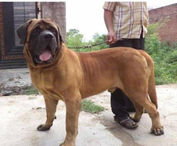 How to care for an English mastiff