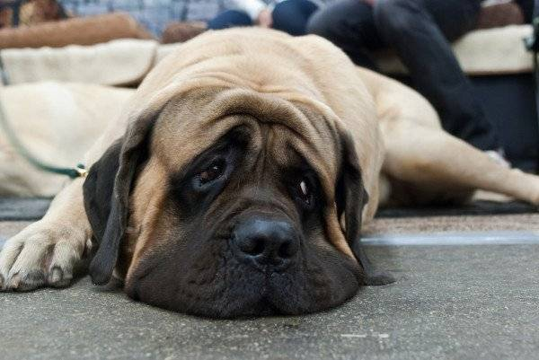 The character of the English mastiff