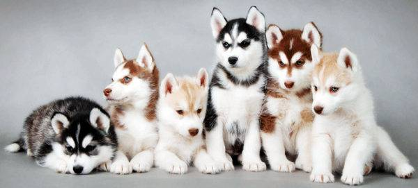 Puppies of the Siberian Husky