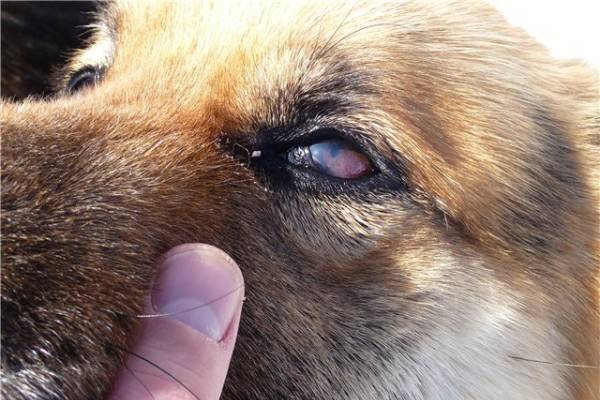 Tear and pus in the eyes of a dog