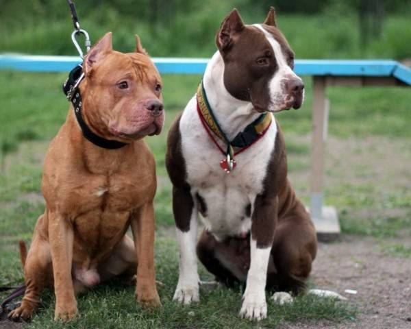Two pit bull near