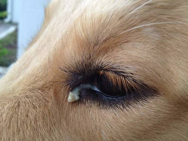 The dog's eyes are festering. What to do