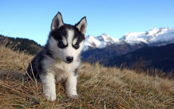 Husky puppy on the grass