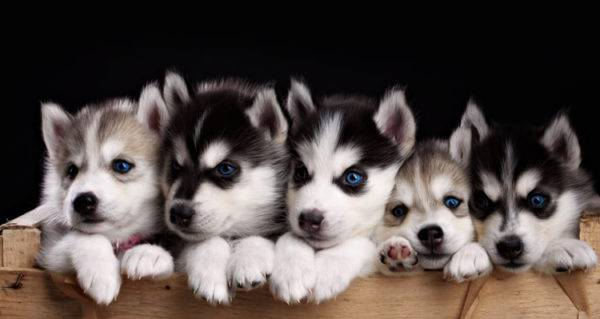 nice little husky puppies