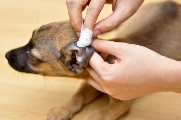 Inspection of the dog with otitis